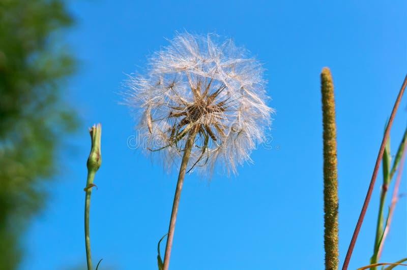 The flower of salsify, Tragopogon, big fluffy dandelion. Big fluffy dandelion, the flower of salsify, Tragopogon royalty free stock photography