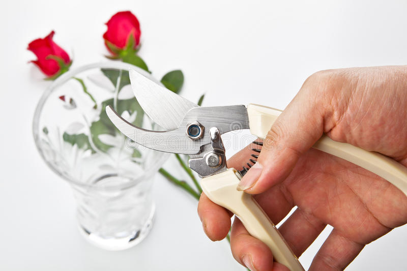 Download Flower scissors in hand stock image. Image of stem, rose - 24642289