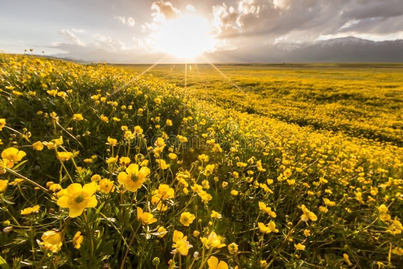 Flower sea. Plateau nature sunrise sunset travel trip asia beautiful plants yellow stock images