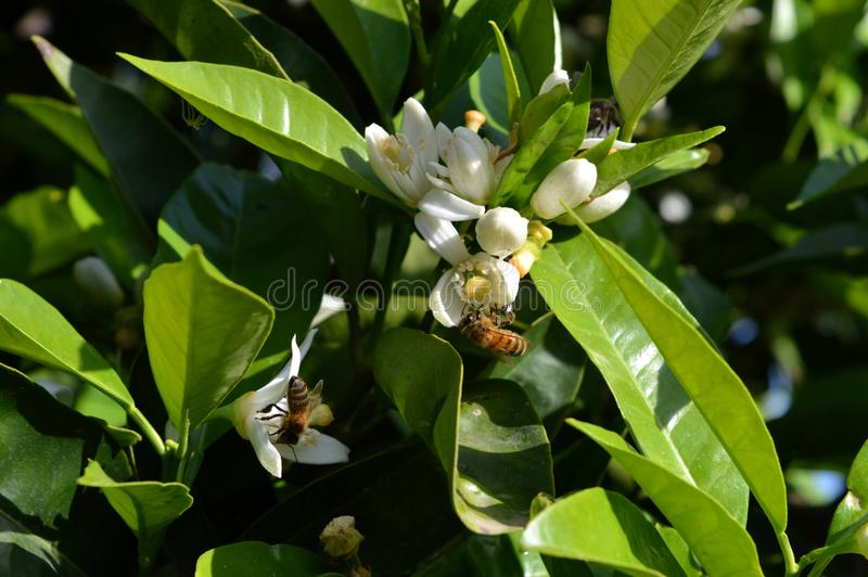Flower of Sicily, Close-up of Orange Blossoms with Bees Collecting Pollen stock photo