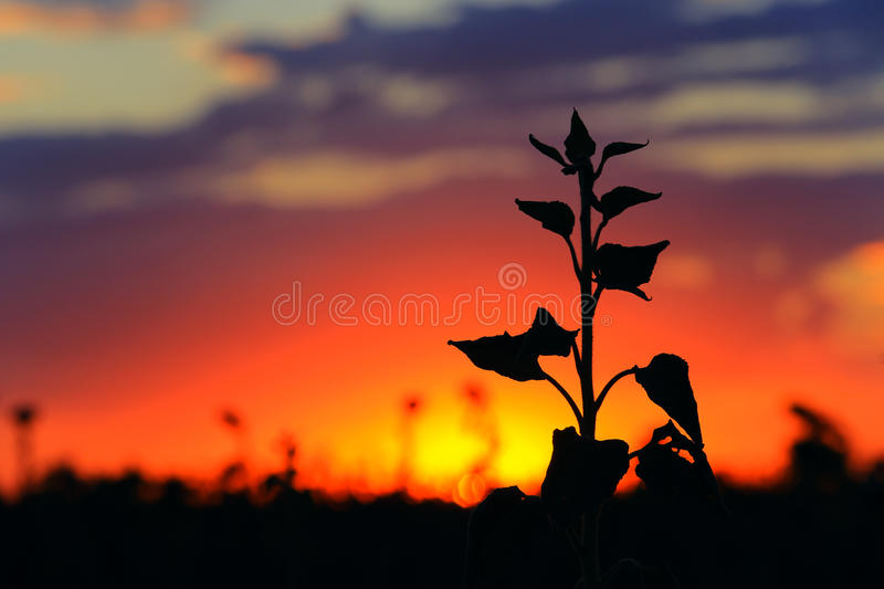 Download Flower Silhouette On Sunset Stock Image - Image: 33537241