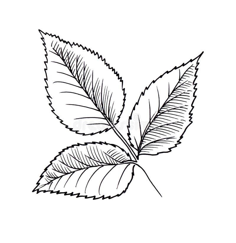 Rose Leaf Ink Flower Line Graphic Stock Illustration Illustration Of Design Bloom 120605358