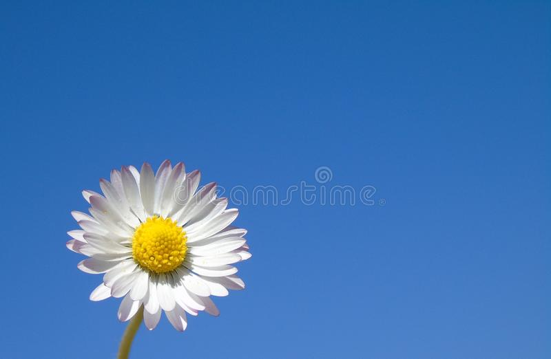Flower, Sky, Oxeye Daisy, Daytime stock images