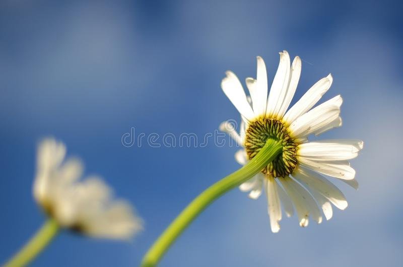 Flower, Sky, Yellow, Oxeye Daisy royalty free stock photo