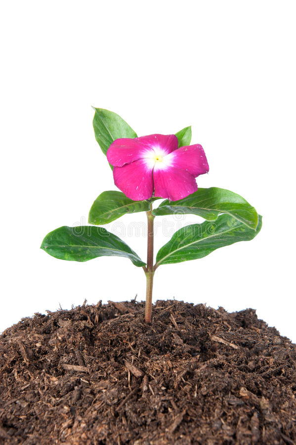 Download Flower In Soil Stock Photo - Image: 19604390
