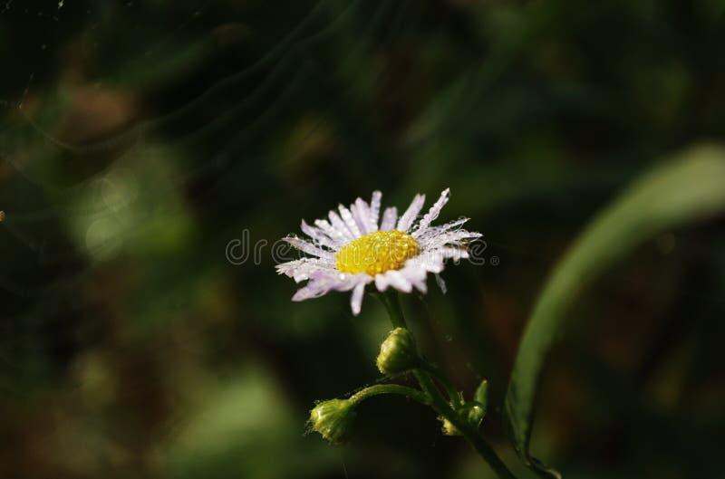 Daisy with dew stock photos