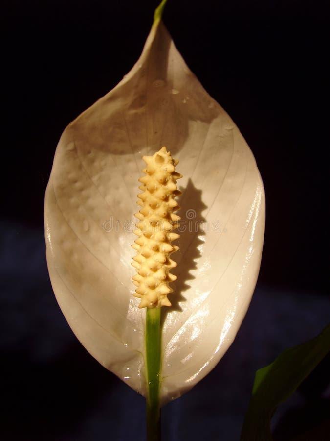 Flower Spathiphyllum royalty free stock photo