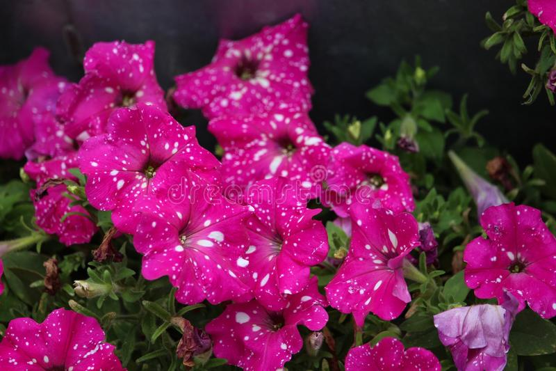 Petunia Pink Sky speckled. Flower speckled pink showy unique annual garden hybrid mass growth blooms royalty free stock images