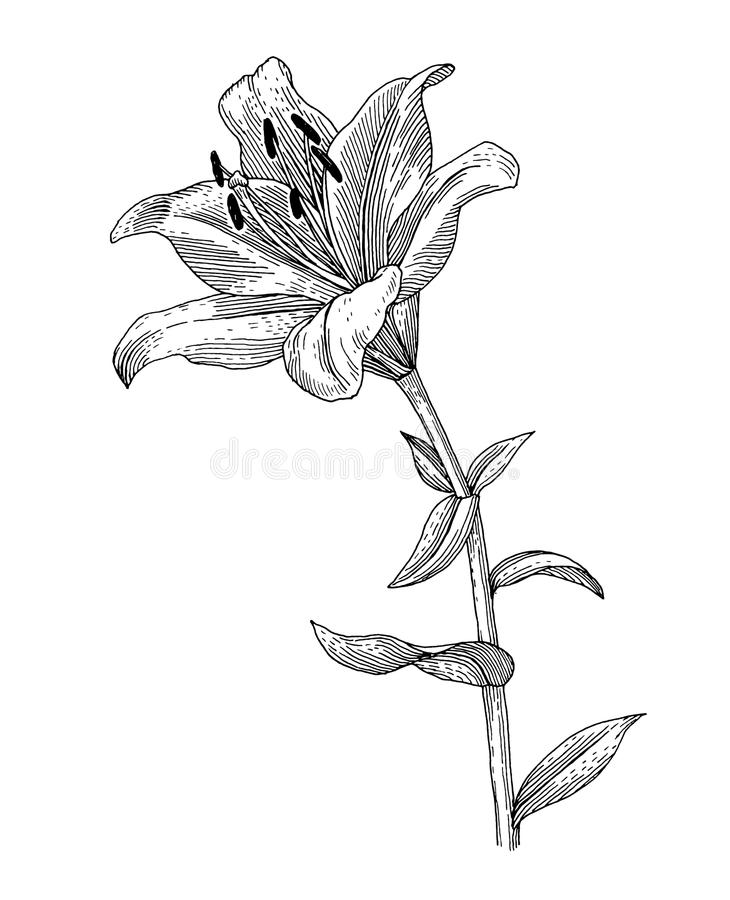Flower. Sprig of blooming lily, black and white graphics vector illustration