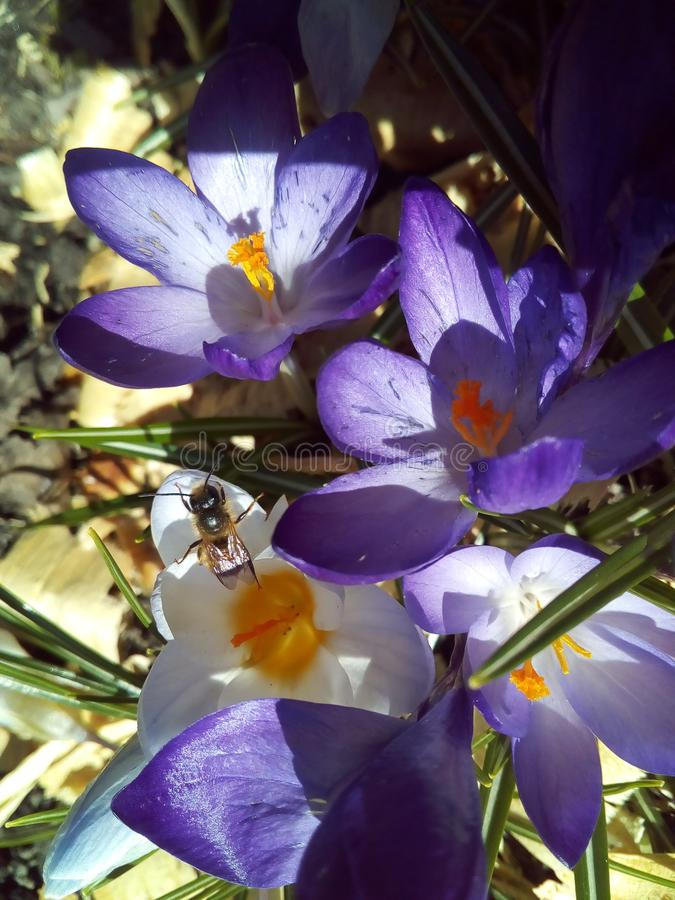 Flower, spring, nature, purple, plant, crocus, violet,. Garden, flora, beauty, floral, bloom, blossom, petal, green, macro, season, leaf, petals, closeup royalty free stock photo