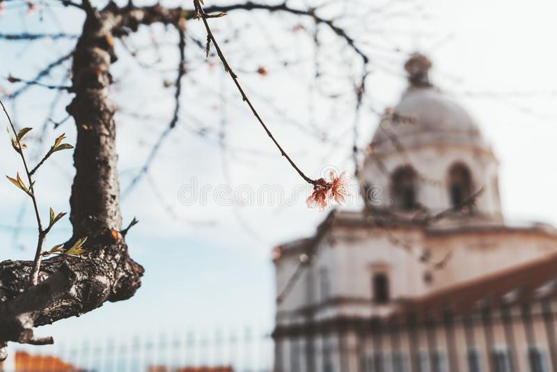 Flower on spring tree, church behind. Springtime in Portugal: single pink bud on the end of the sprig of a sakura cherry-tree with tree trunk on the left with royalty free stock image