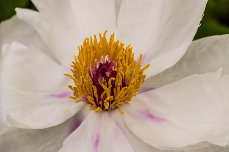 Flower stamen. Stamen of white flower with yellow fillaments and pink blushes on white petals, close up view, macro royalty free stock image