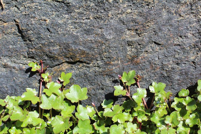 Flower on stone texture royalty free stock images