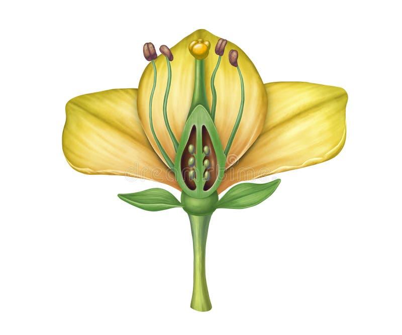 Flower structure on white background stock illustration