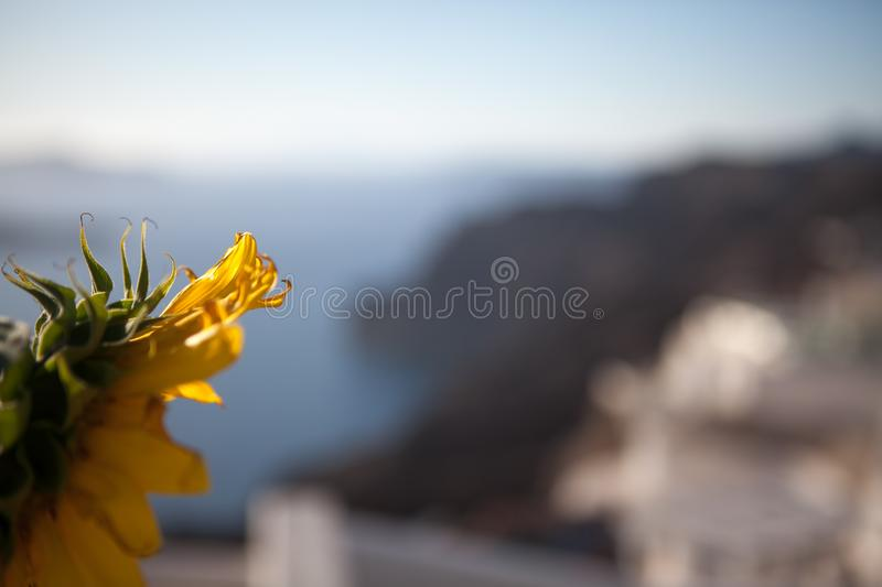 A flower of a sunflower against the background of the washed out island of Santorini in Greece. Aegean Sea. Selective focus royalty free stock images