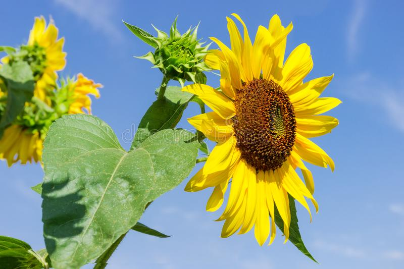 Flower of sunflower against of other flowers and sky. Flower of sunflower on a background of the leaves, other flowers and sky royalty free stock image
