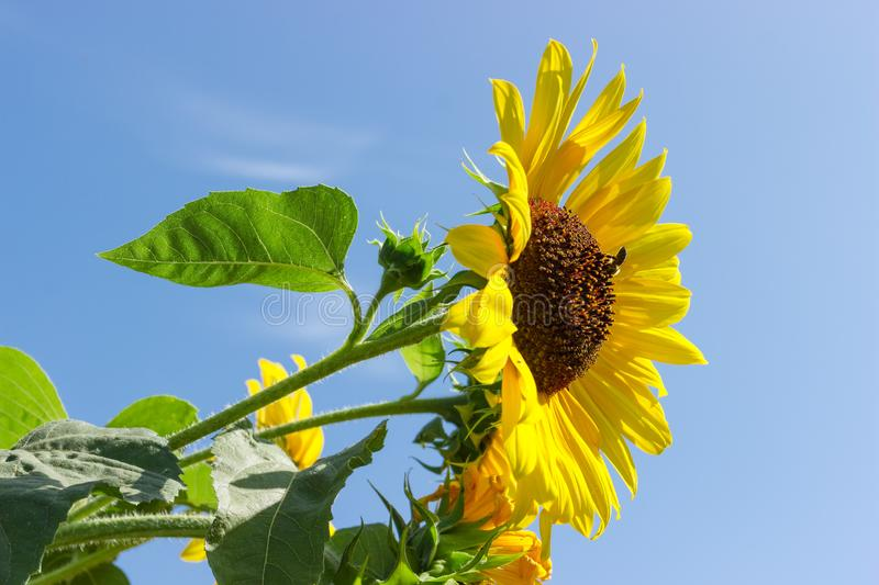 Flower of sunflower against of other flowers and sky. Flower of sunflower on a background of the leaves, other flowers and sky royalty free stock photo