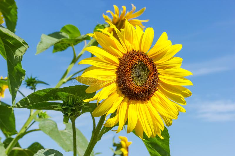Flower of sunflower against of other flowers and sky. Flower of sunflower on a background of the leaves, other flowers and sky royalty free stock images