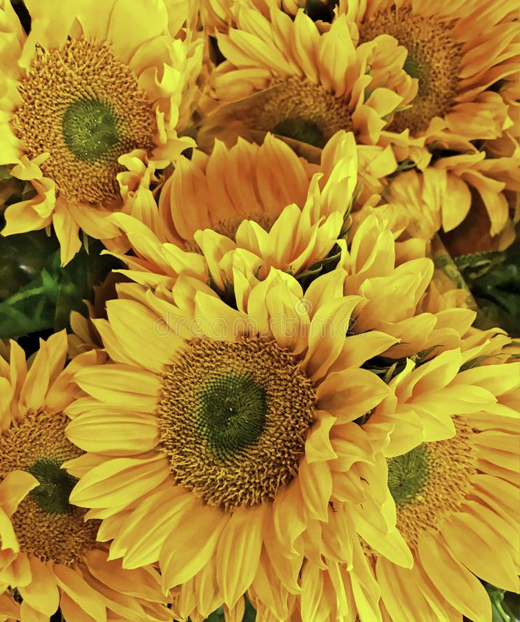 Flower, Sunflower, bright yellow petals with sharp details. Very large heads on sturdy green stems. This image makes a very colorfully dramatic impact royalty free stock images