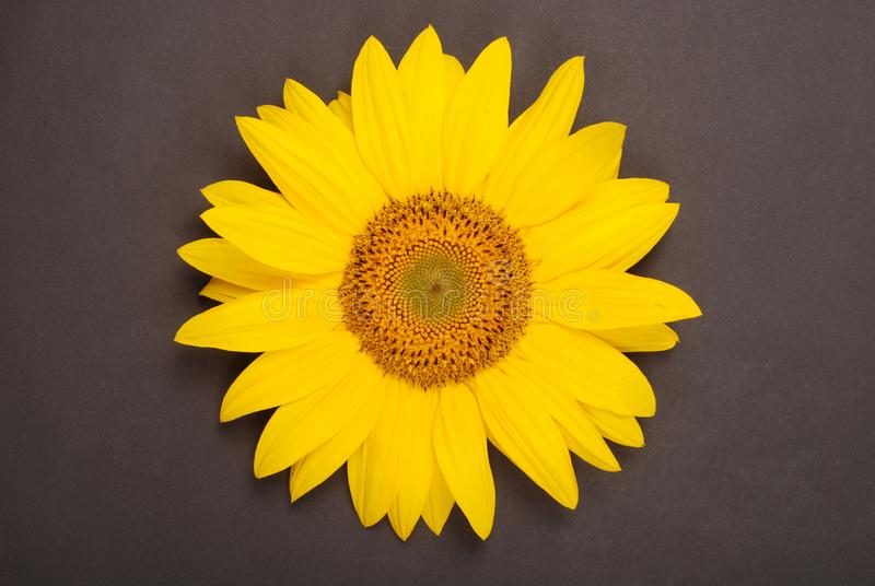 Flower of sunflower stock photography