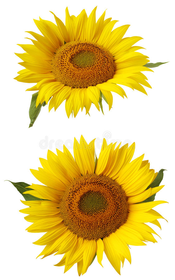Flower of sunflower isolated on a white background. royalty free stock image
