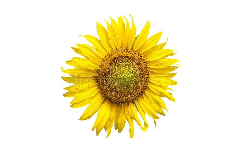 Flower, sunflower isolated on white background. Sunflower with seed. Save with clipping path stock photo