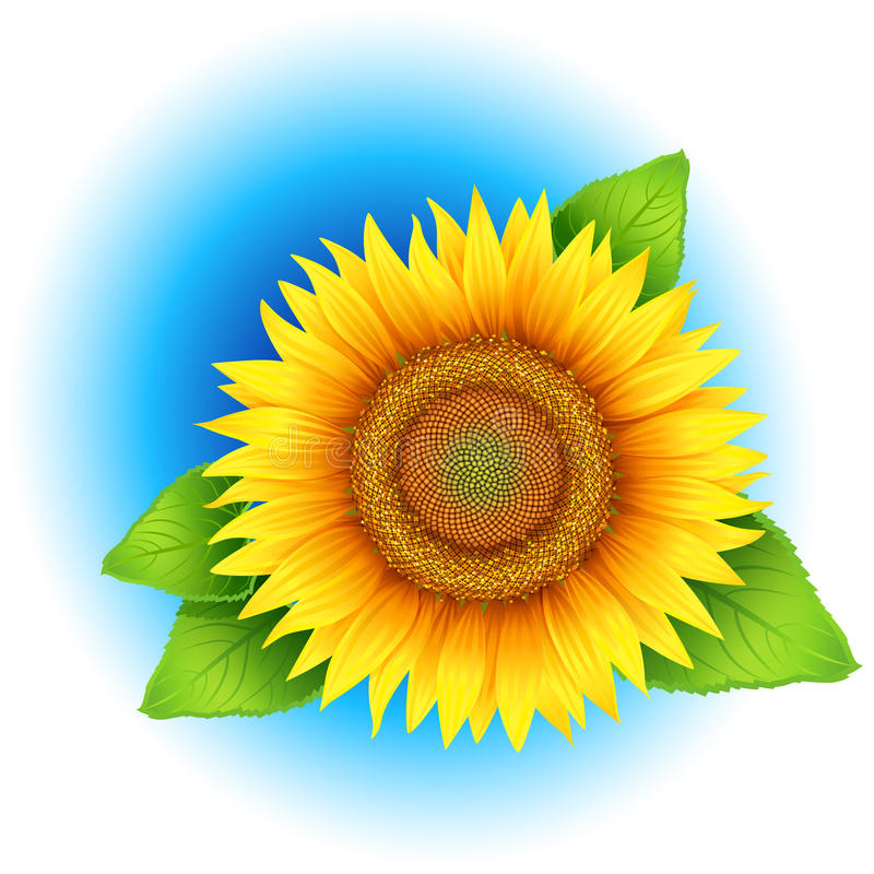 Flower of sunflower vector illustration
