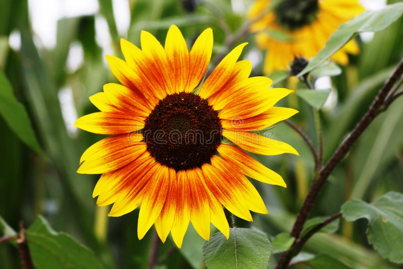 Flower, Sunflower, Sunflower Seed, Flora stock photography
