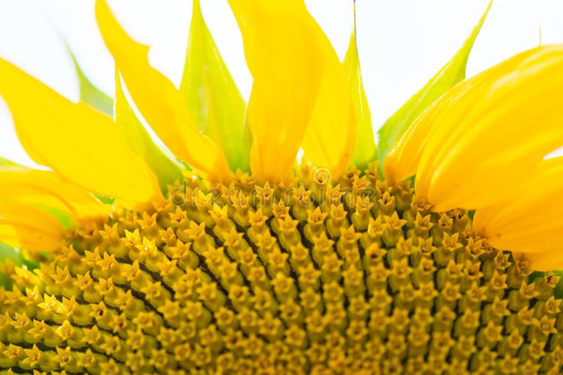 Flower sunflower with seeds closeup.  stock photos