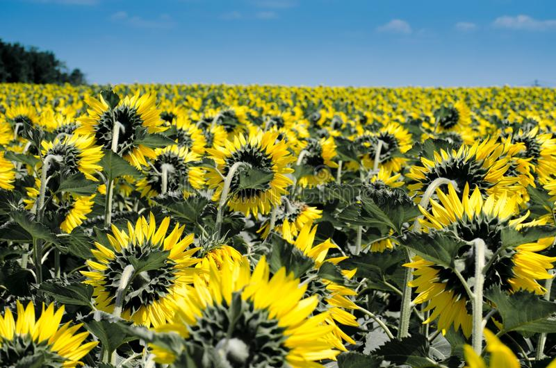 Flower, Sunflower, Yellow, Field stock photos