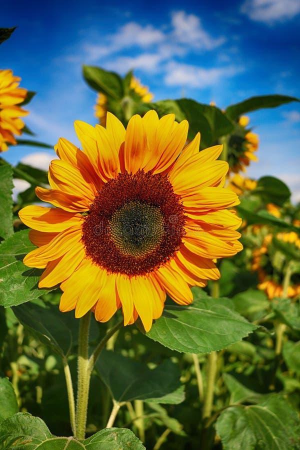 Flower, Sunflower, Yellow, Flowering Plant stock images