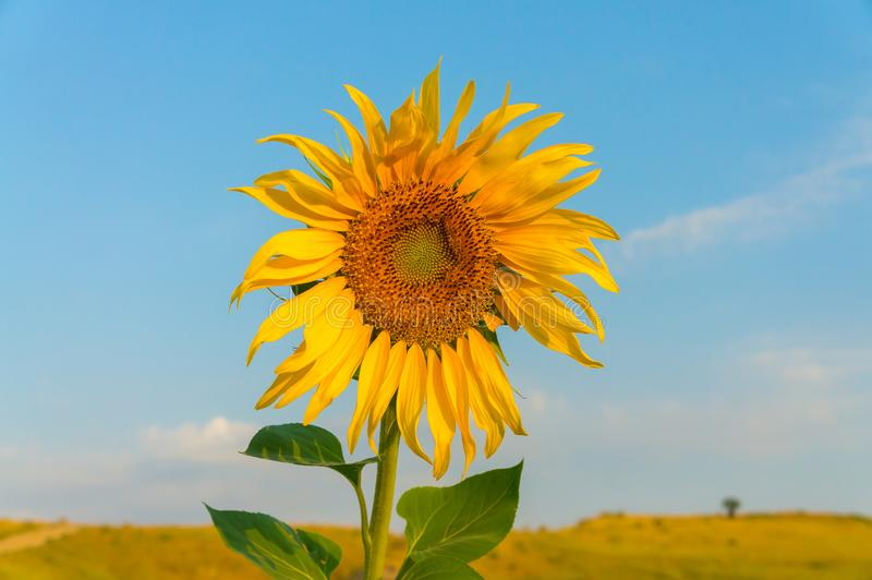 Flower of sunflower with yellow petals and blue sky royalty free stock image