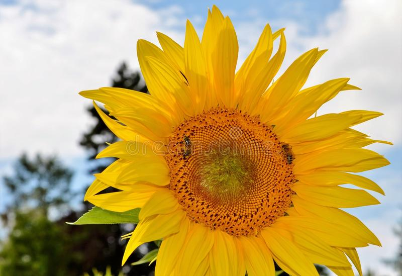 Flower, Sunflower, Yellow, Sunflower Seed royalty free stock image