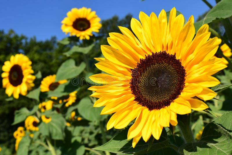 Flower, Sunflower, Yellow, Sunflower Seed stock photography