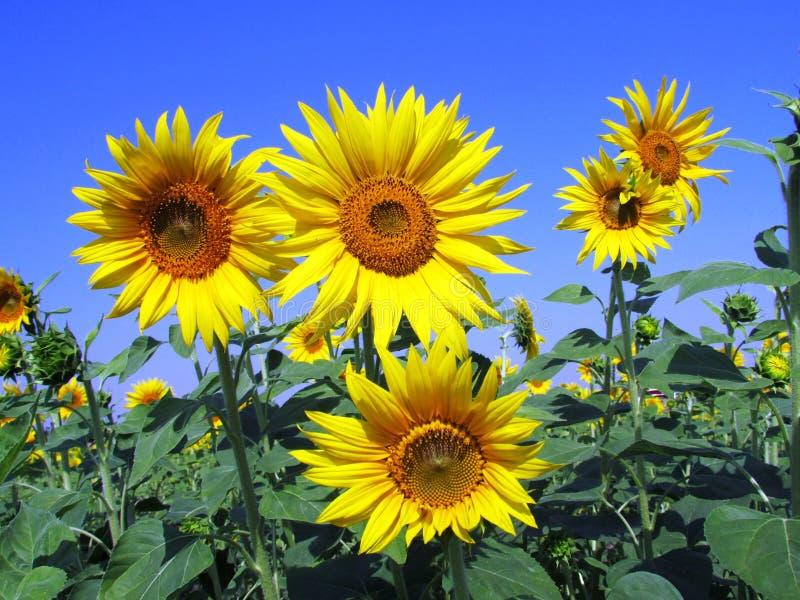 Flower, Sunflower, Yellow, Sunflower Seed stock photos