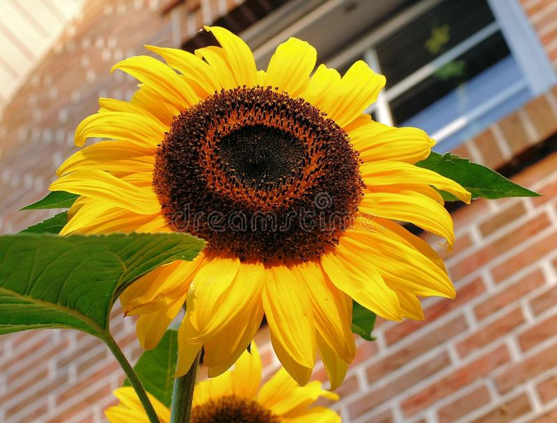 Flower, Sunflower, Yellow, Sunflower Seed royalty free stock photo