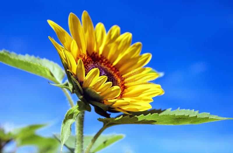 Flower, Sunflower, Yellow, Sky stock photos