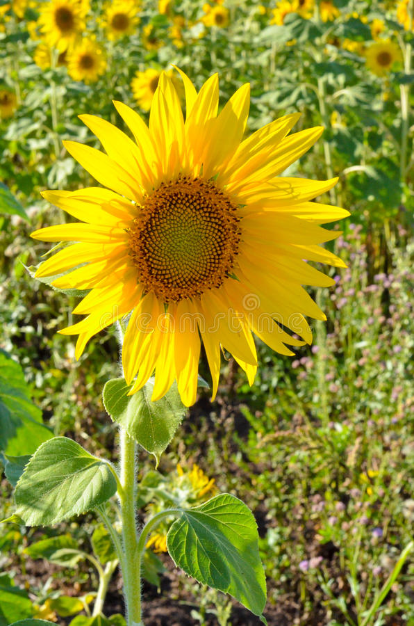 Flower sunflower. Young flower sunflower in field of sunflowers stock photo