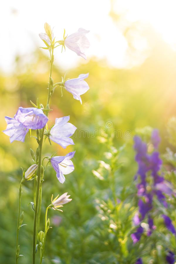 Flower at sunrise. Flower in the garden. Bright saturated blurred floral background royalty free stock photography