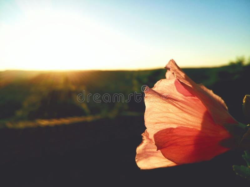 flower sunset in france royalty free stock images
