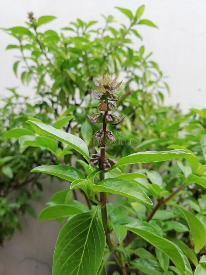 Flower of sweet basil1 stock photo