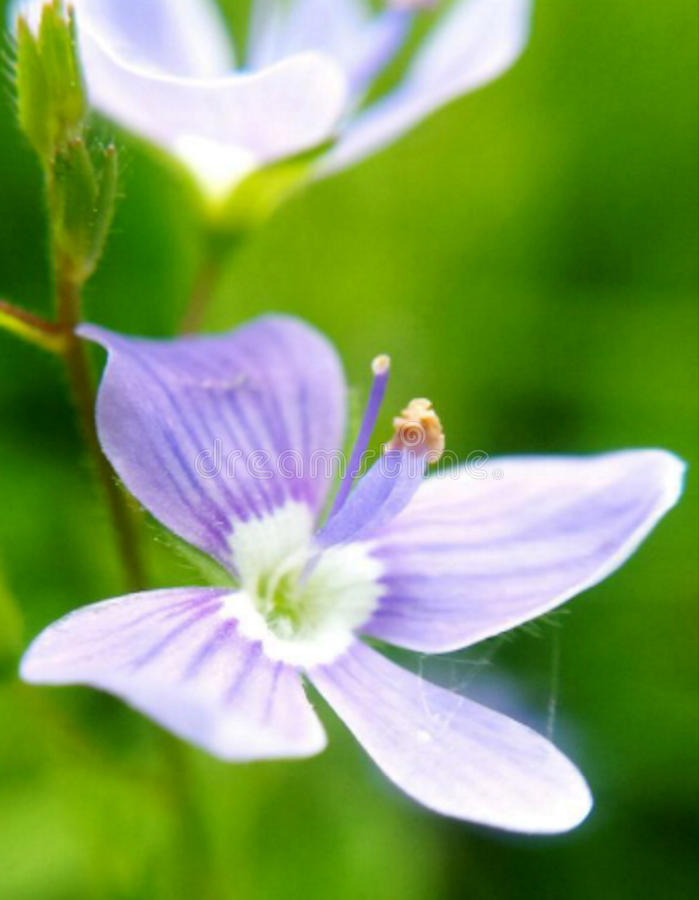 Crocus flower. SWEET CROCUS FLOWER stock photo