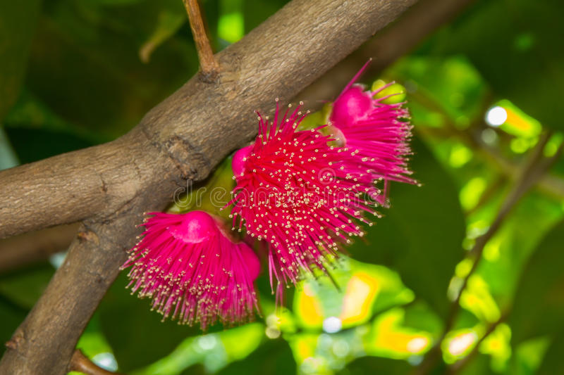 Flower syzygium malaccense. Syzygium malaccense flowers bloom a beautiful red royalty free stock image