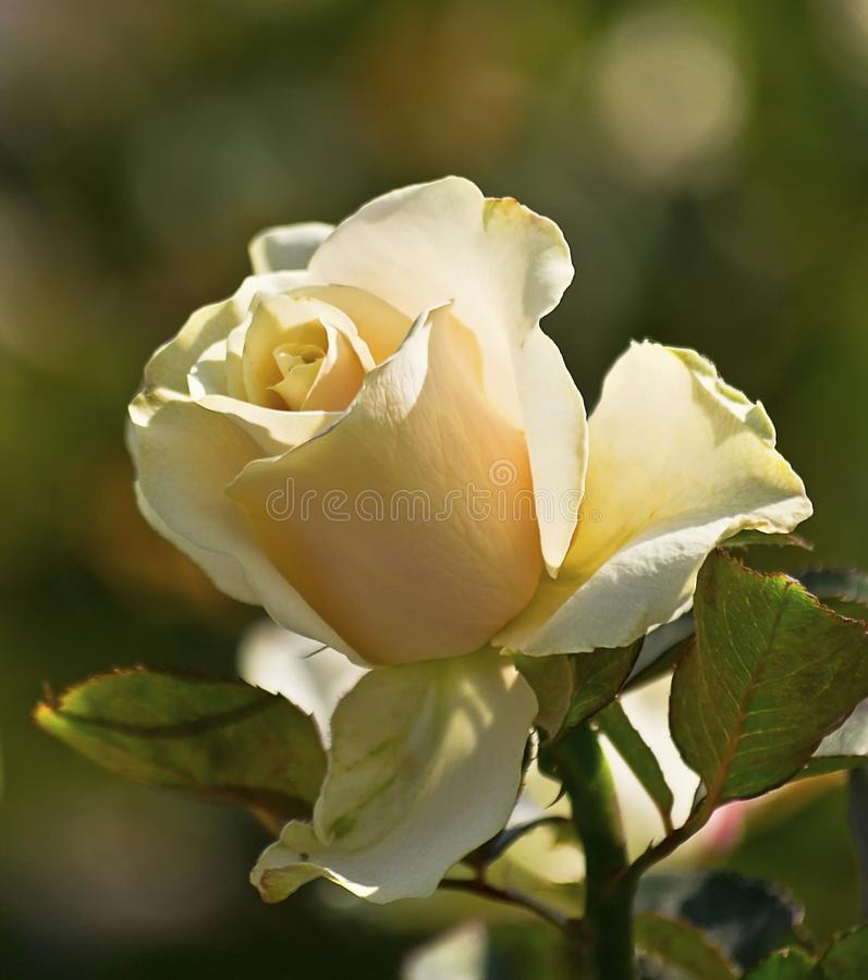 Free Flower Tea Rose Royalty Free Stock Photography - 27562567