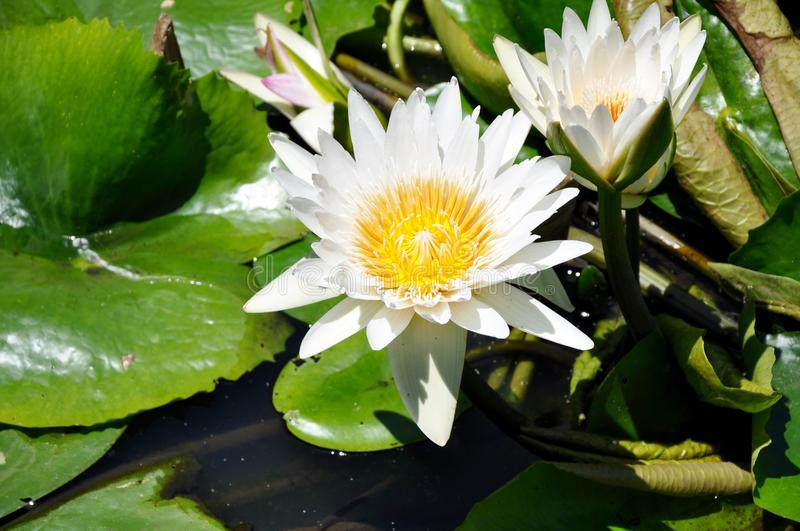 Flower. Teratai at indonesia, floating , natural royalty free stock images