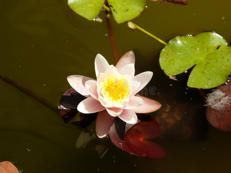 Flower in tha water. Flower in the water, South Spain, Andalucia stock photos