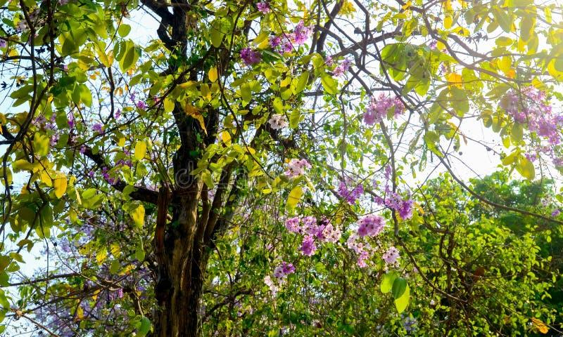 Flower of Thai crape myrtle, Lagerstroemia floribunda stock photos