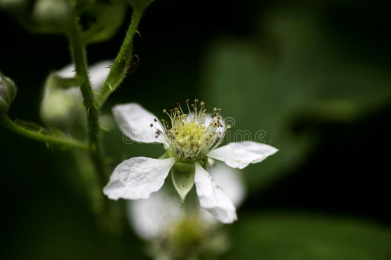 Flower thimbleberry Rubus occidentalis rosaceae family background high quality royalty free stock photography