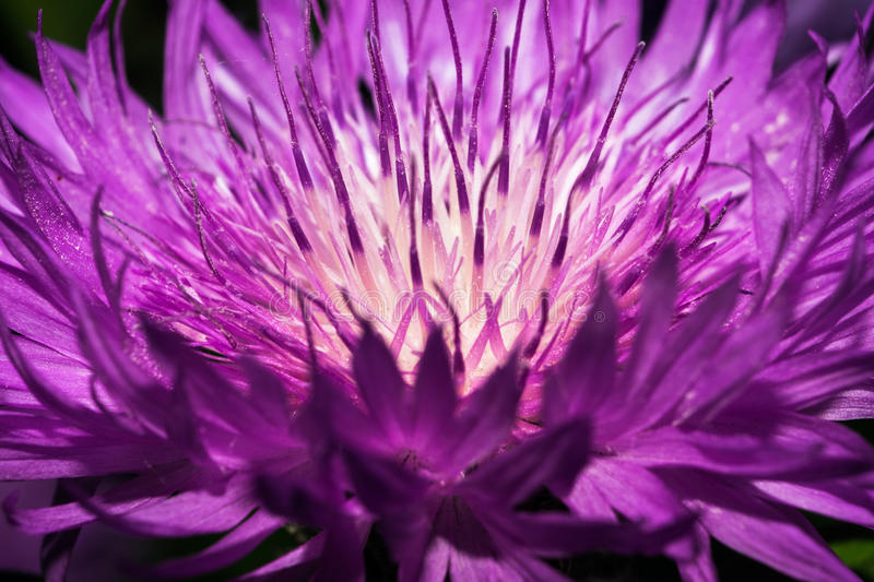 A flower of a thistle with brightly violet long petals. stock image