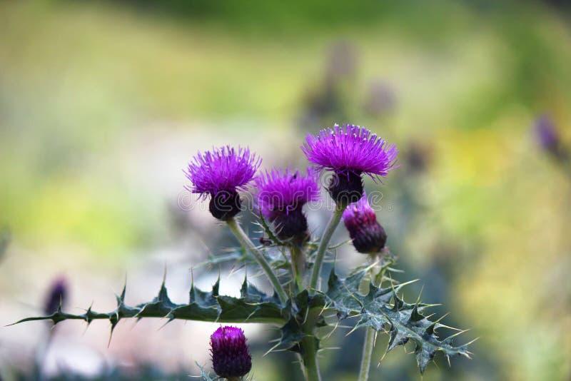 Flower thistles stock image